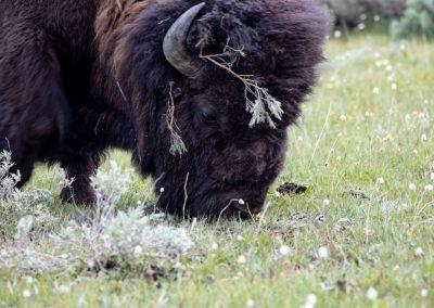 Bison-Grazing