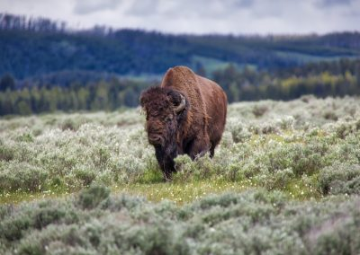 buffalo-sage