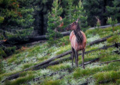 misty-moose